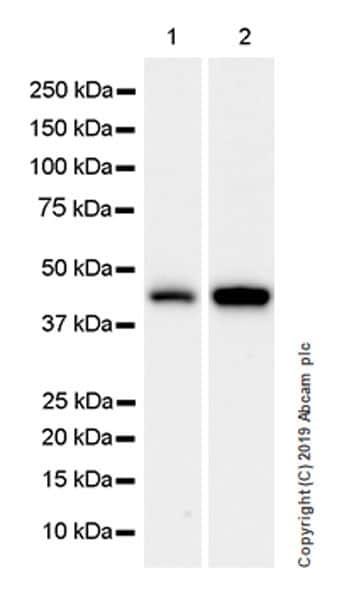 Western blot - Anti-WWOX antibody [EPR23109-138] (ab238144)
