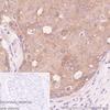 Immunohistochemistry (Formalin/PFA-fixed paraffin-embedded sections) - Anti-WWOX antibody [EPR23109-138] (ab238144)