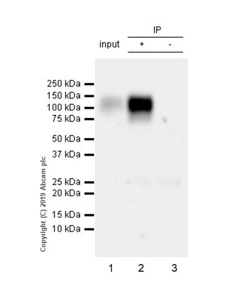 Immunoprecipitation - Anti-LILRB1 antibody [EPR22861-6] (ab238145)