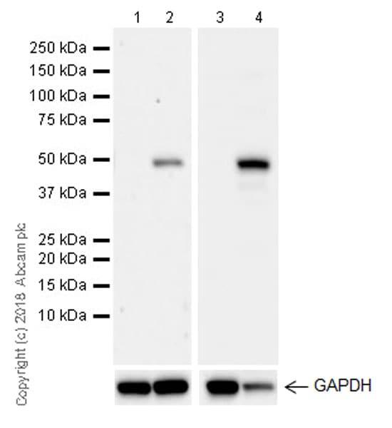 Western blot - Anti-IRG1 antibody [EPR22066] - BSA and Azide free (ab238169)