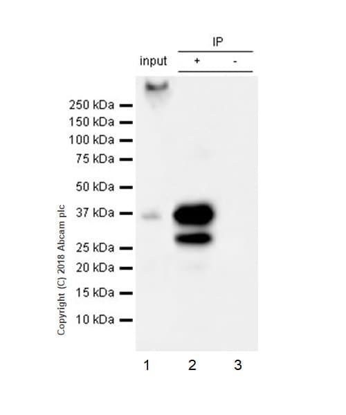 Immunoprecipitation - Anti-SCD1 antibody [EPR21963] - BSA and Azide free (ab238171)