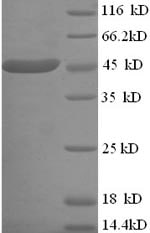 SDS-PAGE - Recombinant <em>E. coli </em> Lactate Dehydrogenase protein (His tag) (ab238219)