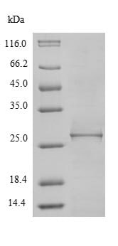 SDS-PAGE - Recombinant clpP2 protein (Tagged) (ab238223)