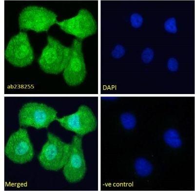 Immunocytochemistry/ Immunofluorescence - Anti-TRPC1 antibody (ab238255)