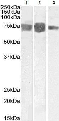 Western blot - Anti-CD146 antibody (ab238273)