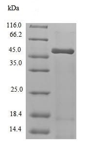 SDS-PAGE - Recombinant <em>A. thaliana</em> Polyadenylate-binding protein RBP47A (ab238280)