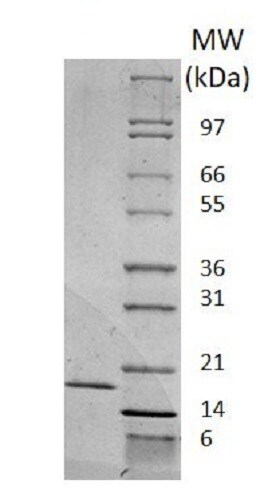 SDS-PAGE - Recombinant mouse IL-2 protein (Active) (ab238291)