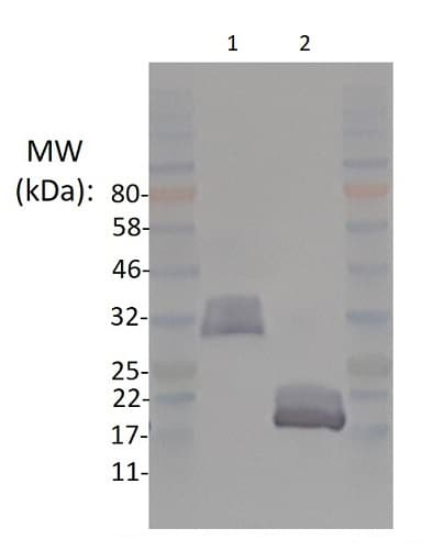 SDS-PAGE - Recombinant human BMP4 protein (Active) (ab238298)