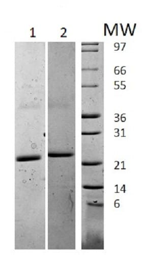 SDS-PAGE - Recombinant mouse IL-6 protein (Active) (ab238300)
