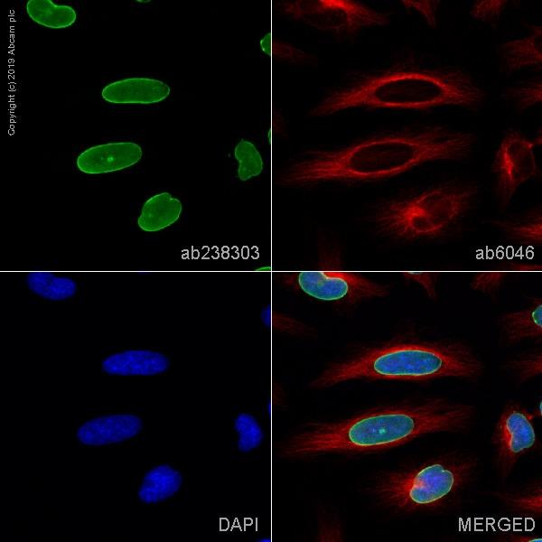 Immunocytochemistry/ Immunofluorescence - Anti-Lamin A + Lamin C antibody [4C11] (ab238303)