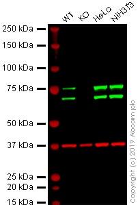 Western blot - Anti-Lamin A + Lamin C antibody [4C11] (ab238303)