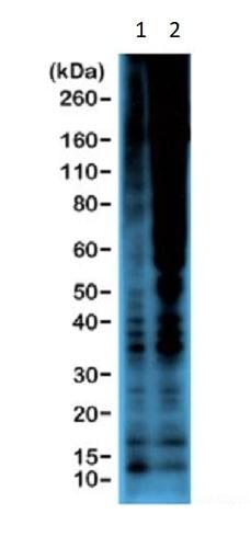 Western blot - Anti-Phosphothreonine antibody [RM102] (ab238305)