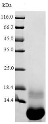 SDS-PAGE - Recombinant THI2.1 protein (ab238355)