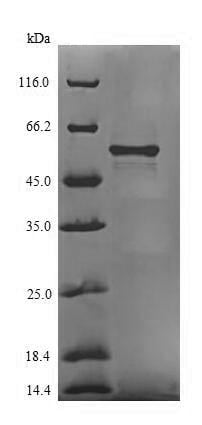 SDS-PAGE - Recombinant Chaperone protein HtpG (Tagged) (ab238359)