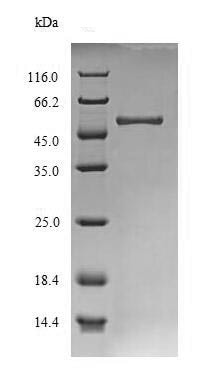 SDS-PAGE - Recombinant <em>S. pombe</em> Glucan endo-1,3-alpha-glucosidase agn1 protein (Tagged) (ab238379)