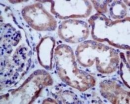 Immunohistochemistry (Formalin/PFA-fixed paraffin-embedded sections) - Anti-SERCA2 ATPase antibody [EPR9392] - BSA and Azide free (ab238426)