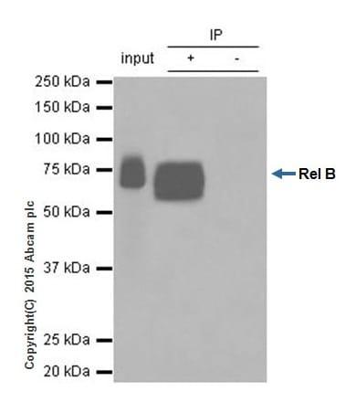 Immunoprecipitation - Anti-Rel B antibody [EPR7076] - BSA and Azide free (ab238434)