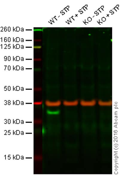 Western blot - Anti-pro Caspase 3 antibody [E83-103] - BSA and Azide free (ab238440)