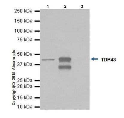 Immunoprecipitation - Anti-TDP43 antibody [EPR18554] - BSA and Azide free (ab238443)