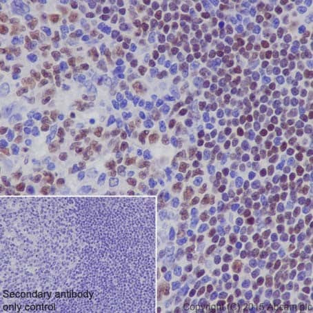 Immunohistochemistry (Formalin/PFA-fixed paraffin-embedded sections) - Anti-MEF2A + MEF2C antibody [EPR19089-34] - BSA and Azide free (ab238446)