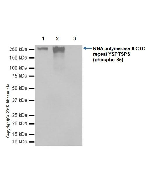Immunoprecipitation - Anti-RNA polymerase II CTD repeat YSPTSPS (phospho S5) antibody [EPR19015] - BSA and Azide free (ab238449)