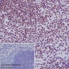 Immunohistochemistry (Formalin/PFA-fixed paraffin-embedded sections) - Anti-RNA polymerase II CTD repeat YSPTSPS (phospho S2) antibody [EPR18855] - BSA and Azide free (ab238450)