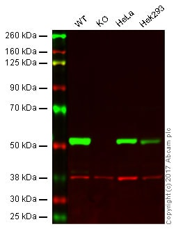 Western blot - Anti-beta III Tubulin antibody [EPR19591] - BSA and Azide free (ab238454)