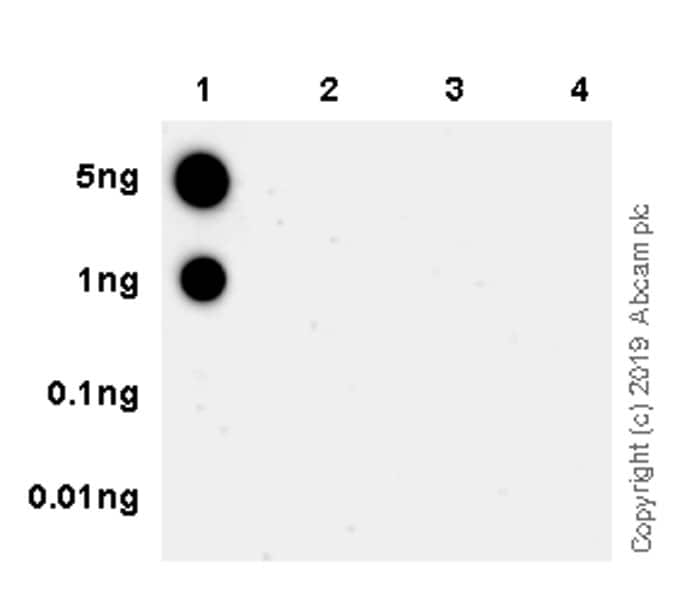 Dot Blot - Anti-TIS11B (phospho S92) antibody [EPR19926] - BSA and Azide free (ab238459)