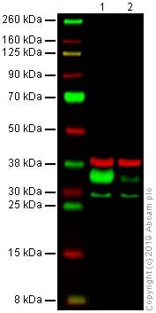 Western blot - Anti-HLA-DR antibody [DA6.147] (ab238469)