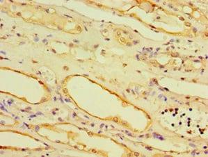 Immunohistochemistry (Formalin/PFA-fixed paraffin-embedded sections) - Anti-IRBIT antibody (ab238488)