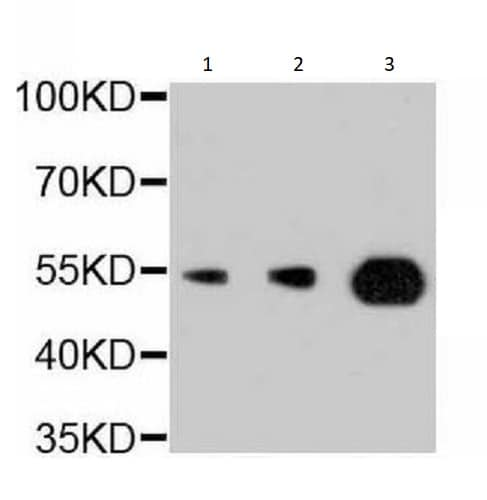 Western blot - Anti-PI 3 Kinase p55 gamma antibody [NO.4F10A1] (ab238509)