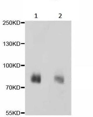 Western blot - Anti-PSD95 antibody [C2D4] (ab238513)