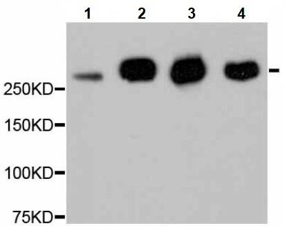 Western blot - Anti-Filamin A antibody [NO.A0F7] (ab238514)