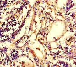 Immunohistochemistry (Formalin/PFA-fixed paraffin-embedded sections) - Anti-IRG1 antibody (ab238580)