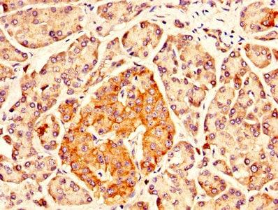 Immunohistochemistry (Formalin/PFA-fixed paraffin-embedded sections) - Anti-IDUA antibody (ab238595)