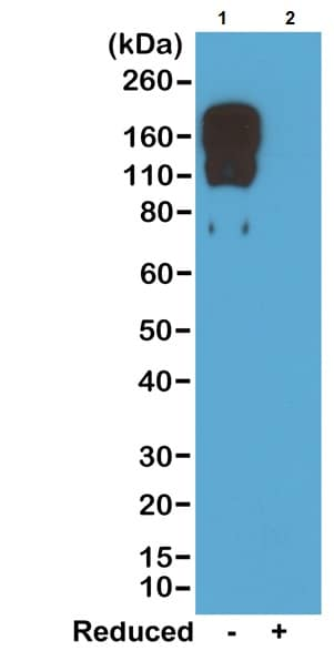 Western blot - Rabbit monoclonal [RM223] Anti-Mouse IgG2c Fc (Biotin) (ab238619)