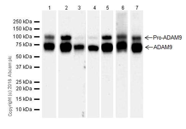 Western blot - Anti-ADAM9 antibody [EPR21924-164] - BSA and Azide free (ab238647)
