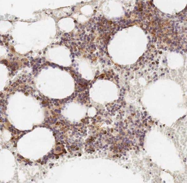Immunohistochemistry (Formalin/PFA-fixed paraffin-embedded sections) - Anti-Polycystin 1 antibody [7e12] - BSA and Azide free (ab238662)