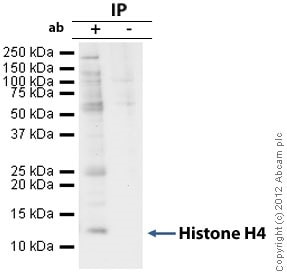 Immunoprecipitation - Anti-Histone H4 antibody [mAbcam 31830] - BSA and Azide free (ab238663)