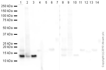 Western blot - Anti-Histone H4 antibody [mAbcam 31830] - ChIP Grade – BSA and Azide free (ab238663)