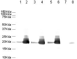 Western blot - Anti-Histone H3 (phospho S10) antibody [mAbcam 14955] - BSA and Azide free (ab238673)