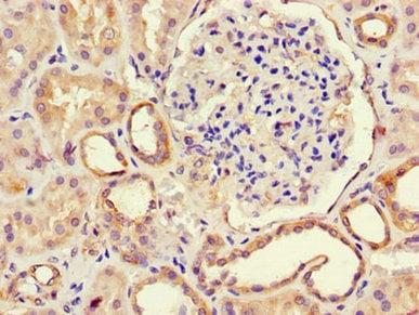 Immunohistochemistry (Formalin/PFA-fixed paraffin-embedded sections) - Anti-RPE antibody (ab238750)