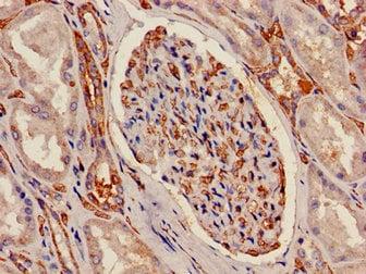 Immunohistochemistry (Formalin/PFA-fixed paraffin-embedded sections) - Anti-ATP5C1 antibody (ab238817)