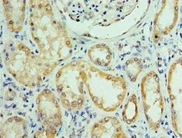 Immunohistochemistry (Formalin/PFA-fixed paraffin-embedded sections) - Anti-C14orf166 antibody (ab238838)