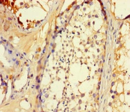 Immunohistochemistry (Formalin/PFA-fixed paraffin-embedded sections) - Anti-UCP5 antibody (ab238856)