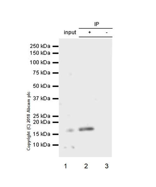 Immunoprecipitation - Anti-Acid phosphatase antibody [EPR21787] - BSA and Azide free (ab238888)