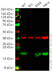 Western blot - Anti-Acid phosphatase antibody [EPR21791] - BSA and Azide free (ab238913)