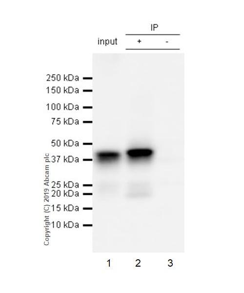 Immunoprecipitation - Anti-Islet 1 antibody [EPR10362] - BSA and Azide free (ab238919)