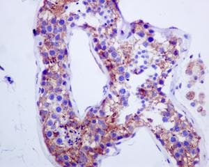 Immunohistochemistry (Formalin/PFA-fixed paraffin-embedded sections) - Anti-Syntaxin 16 antibody [EPR9156] - BSA and Azide free (ab238922)