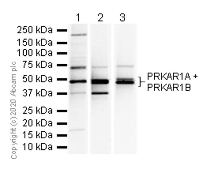 Western blot - Anti-PRKAR1A+PRKAR1B antibody [EPR8491] - BSA and Azide free (ab238924)